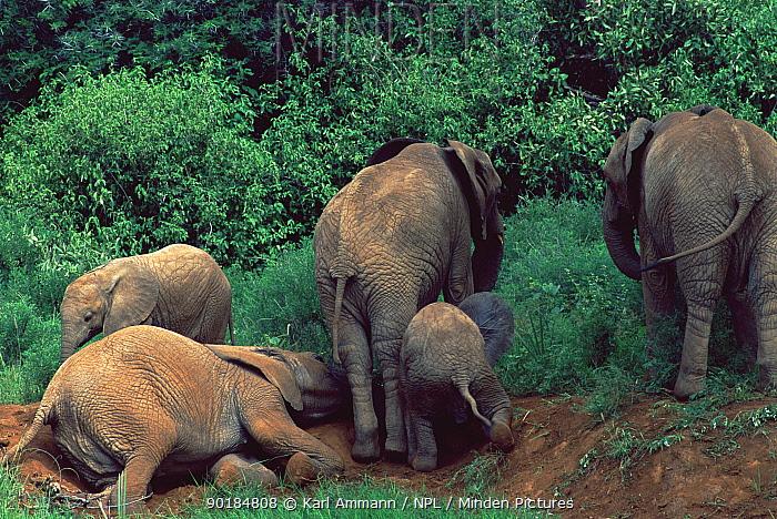 Family of African elephants dust bathing (Loxodonta africana) Kenya  -  Karl Ammann/ npl