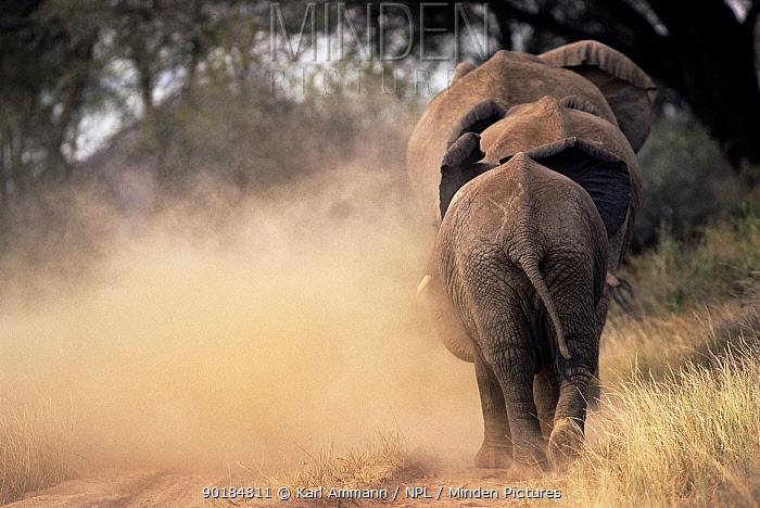African elephants walking away creating dust cloud (Loxodonta africana) Kenya  -  Karl Ammann/ npl