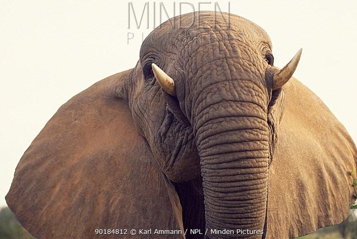 High angle shot of African elephant (Loxodonta africana) Kenya  -  Karl Ammann/ npl