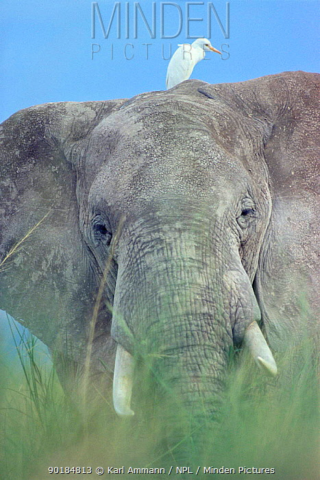 African elephant portrait in grass (Loxodonta africana) with Egret, Kenya  -  Karl Ammann/ npl