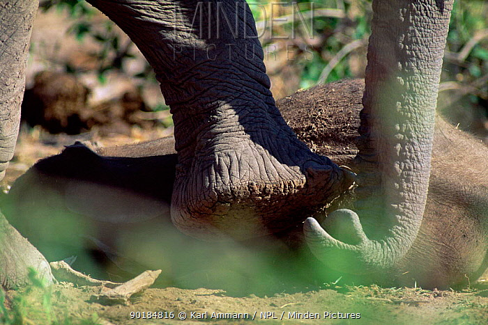 African elephant touches resting baby wih foot and trunk (Loxodonta africana) Kenya  -  Karl Ammann/ npl