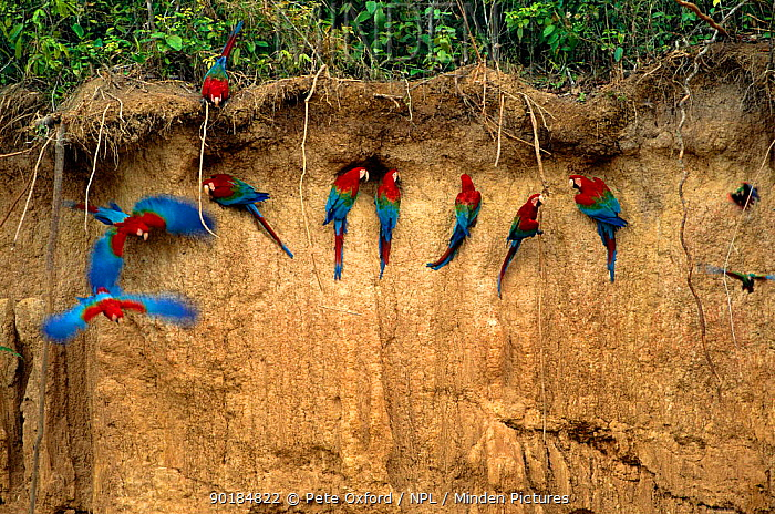 Green winged macaws on clay lick (Ara chloroptera) Heath River, Peru  -  Pete Oxford/ npl