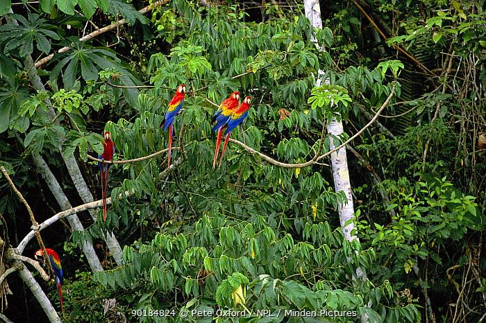 Scarlet macaws (Ara macao) Serjali Clay Lick, Mishagua River Amazonia, PERU  -  Pete Oxford/ npl