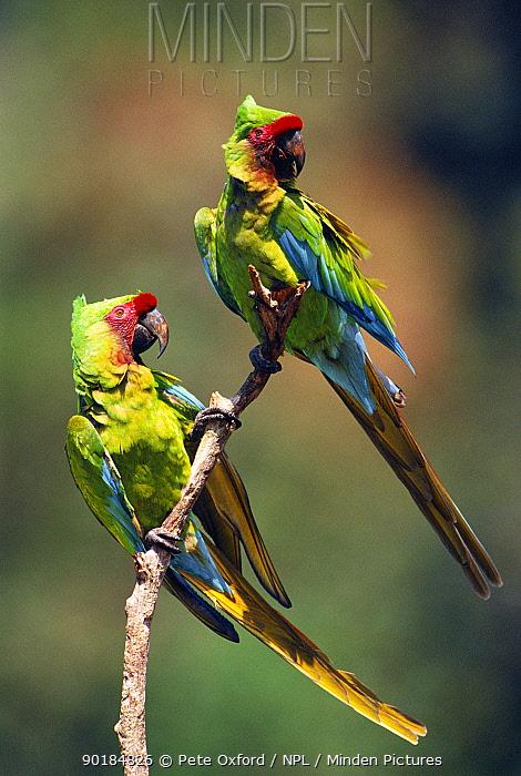 Two Military macaws (Ara militaris militaris) Urubamba River, Amazonia, Peru  -  Pete Oxford/ npl