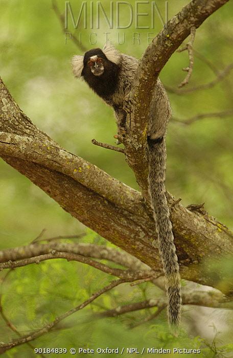 White tufted ear marmoset (Callithrix jacchus jacchus) Caatinga, Bahia state, Brazil  -  Pete Oxford/ npl