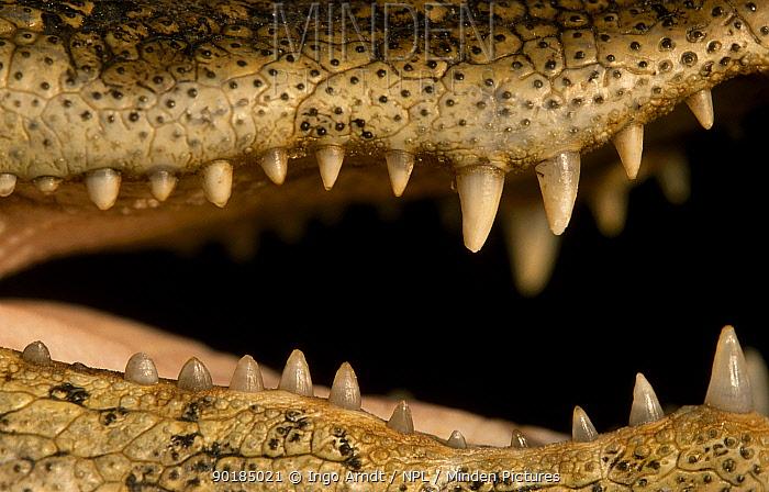 Broad nosed caiman close-up of teeth (Caiman latirostris) Sante Fe, Argentina  -  Ingo Arndt/ npl
