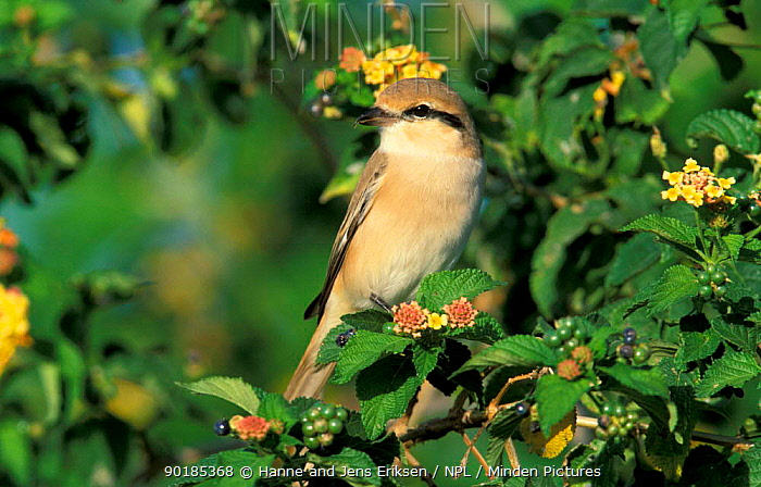 Isabelline shrike (Lanius isabellinus) Salalah, Oman  -  Hanne & Jens Eriksen/ npl