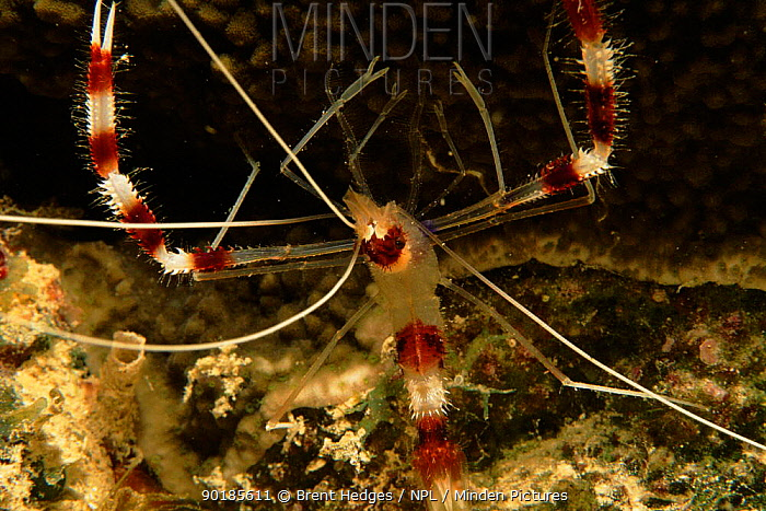 Banded coral shrimp, Milne Bay, Papua New Guinea  -  Brent Hedges/ npl