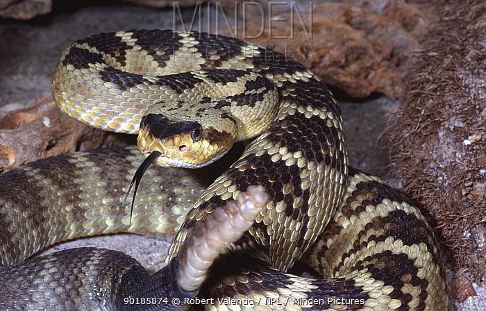 Black tailed rattlesnake (Crotalus molossus molossus) threat pose, captive  -  Robert Valentic/ npl