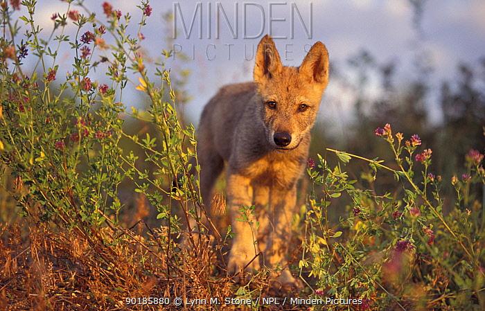 Grey Wolf cub walking Captive (Canis lupus) USA  -  Lynn M. Stone/ npl