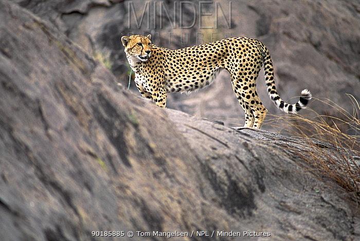Cheetah Serengeti NP, Tanzania (Acinonyx jubatus)  -  Tom Mangelsen/ npl