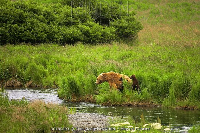 Brown bear (Ursus arctos) mother and cubs watch for fish by McNeil River, Alaska, USA  -  Tom Mangelsen/ npl