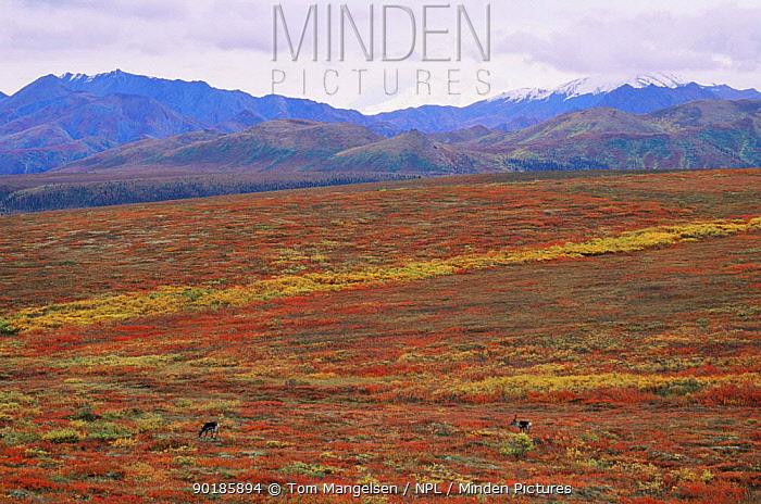 Reindeer, caribou (Rangifer tarandus) grazing on autumn tundra, Denali NP, Alaska  -  Tom Mangelsen/ npl