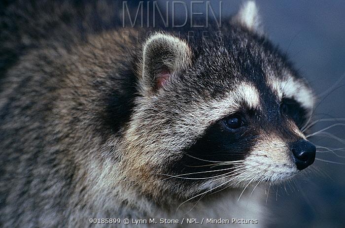 Raccoon (Procyon lotor) portrait, captive, USA  -  Lynn M. Stone/ npl