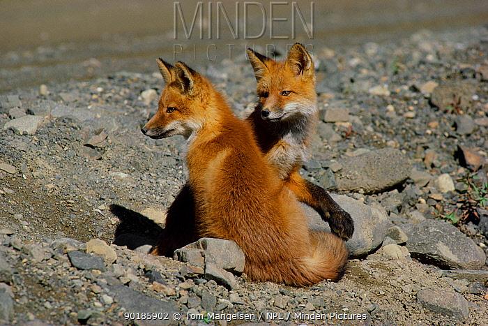 North American red fox cubs Alaska (Vulpes vulpes) Denali NP  -  Tom Mangelsen/ npl