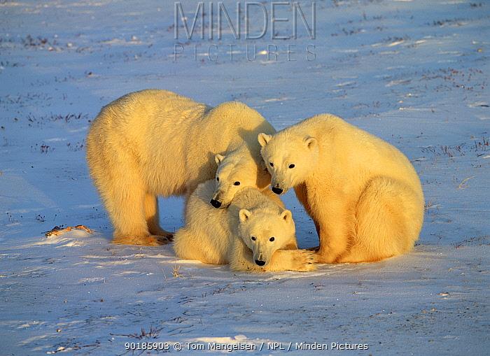 Polar Bear mother and cubs (Ursus maritimus) Churchill, Manitoba, Canada  -  Tom Mangelsen/ npl