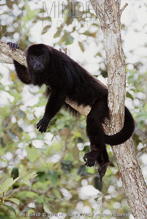 Black howler monkey (Alouatta caraya) in tree (C) Belize  -  Lynn M. Stone/ npl