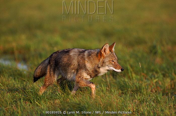 Coyote walking, Minnesota, USA  -  Lynn M. Stone/ npl