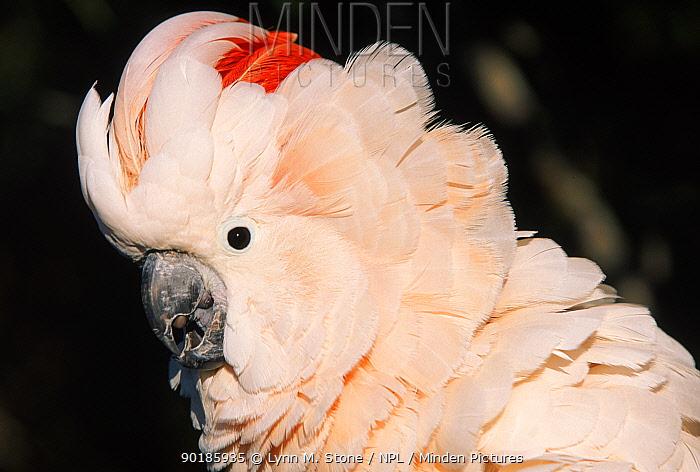 Salmon crested cockatoo (Moluccan cockatoo) occurrs Australia  -  Lynn M. Stone/ npl