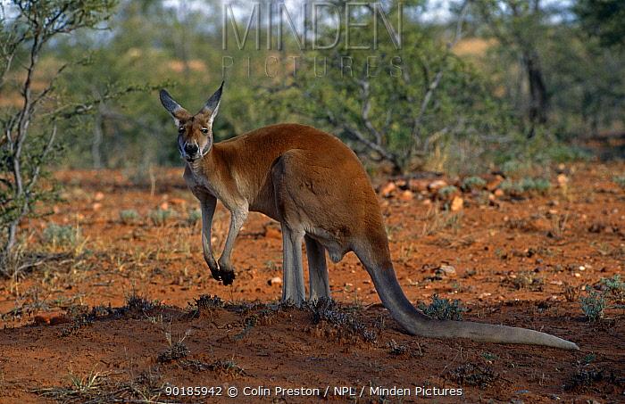 Red kangaroo (Macropus rufus) Australia  -  Colin Preston/ npl