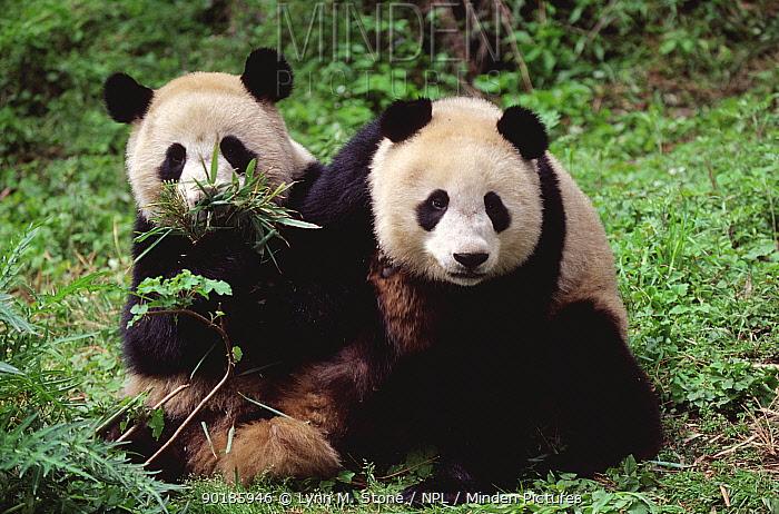 Two juvenile Giant pandas (Ailuropoda melanoleuca) Qionglai Mountains, China Captive  -  Lynn M. Stone/ npl