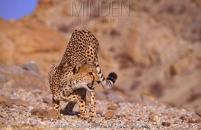 Portrait of Cheetah crouching (Acinonyx jubatus) Tsaobis Leopard Park, Namibia, captive  -  Tony Heald/ npl