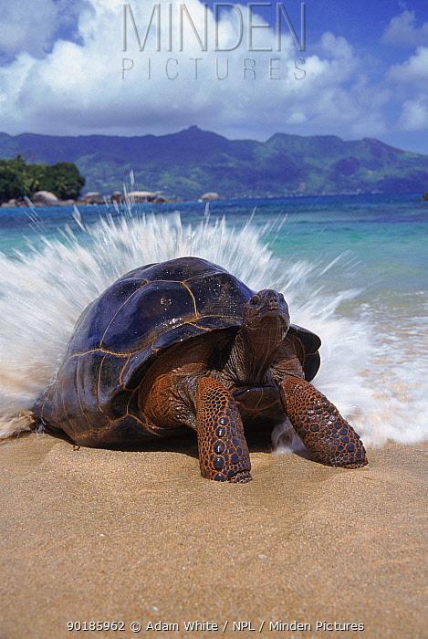 Giant tortoise (Geochelone elephantopus) wave breaking on back, Aldabra, Seychelles  -  Adam White/ npl