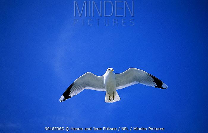 Common gull in flight (Larus canus), Storebaelt, Denmark  -  Hanne & Jens Eriksen/ npl