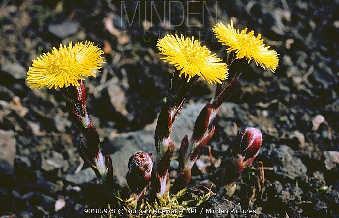 Coltsfoot in flower (Tussilago farfara) growing on waste ground, Scotland, UK  -  Duncan McEwan/ npl