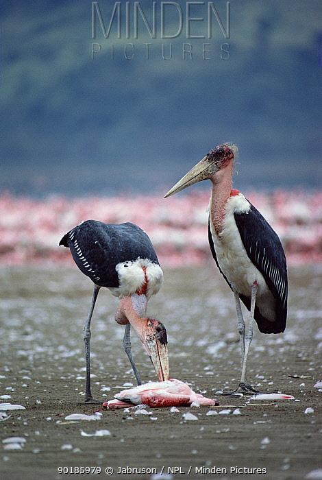 Marabou storks feed on Flamingo (Leptoptilos crumeniferus) Lake Nakuru Kenya  -  Jabruson/ npl