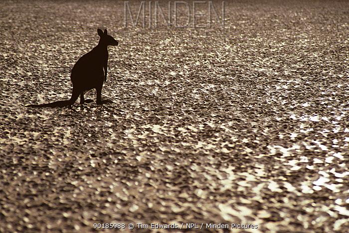 Eastern Grey Kangaroo on beach (Macropus giganticus) Queensland Cape Hillsborough NP  -  Tim Edwards/ npl