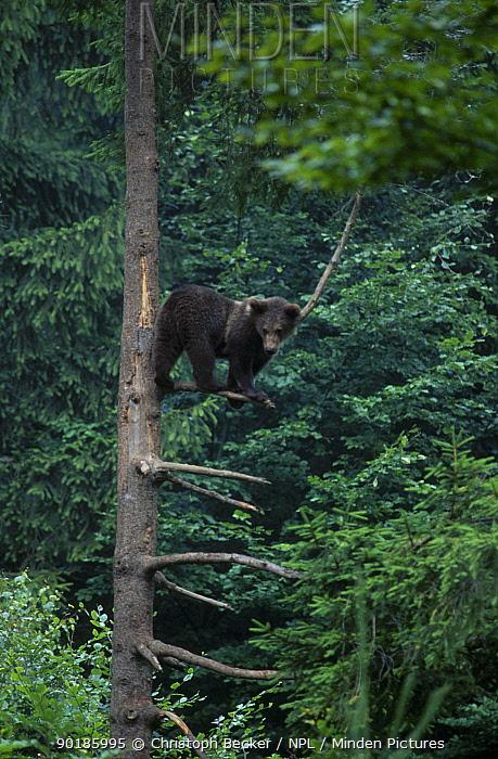 Brown bear cub in tree (Ursus arctos) Bayerishcher Wald NP Germany  -  Christoph Becker/ npl