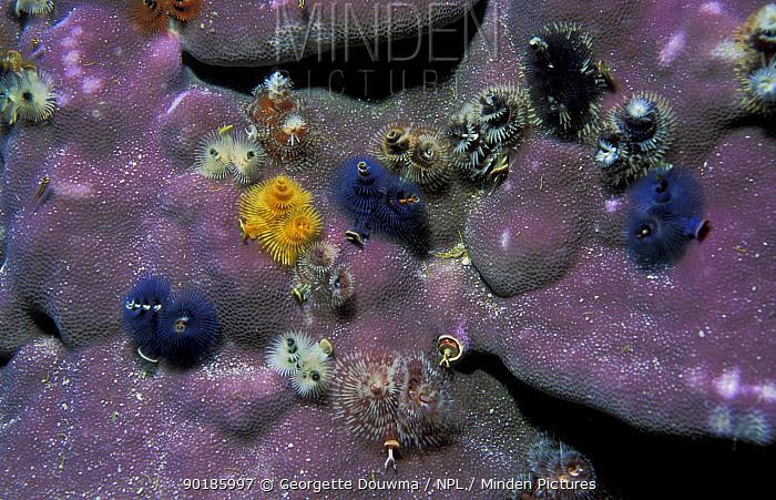 Christmas tree worms on Porites coral (S giganteus) Thailand, Andaman Sea  -  Georgette Douwma/ npl