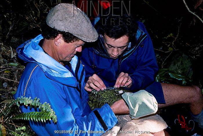 Attaching transmitter to female Kakapo (Strigops habroptilus) Little Barrier Is New Zealand  -  Tim Edwards/ npl