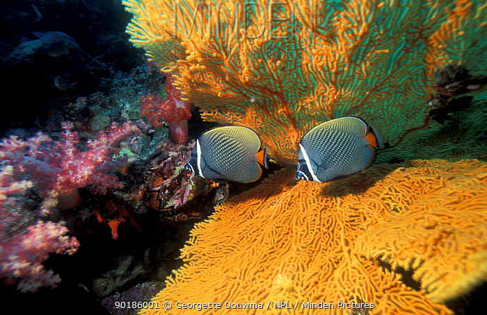 Collared butterfly fish with fan coral (Chaetodon collare) Thailand, Andaman Sea  -  Georgette Douwma/ npl