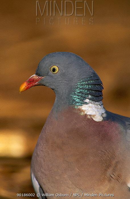 Close-up portrait wood pigeon (Columba palumbus) UK  -  William Osborn/ npl