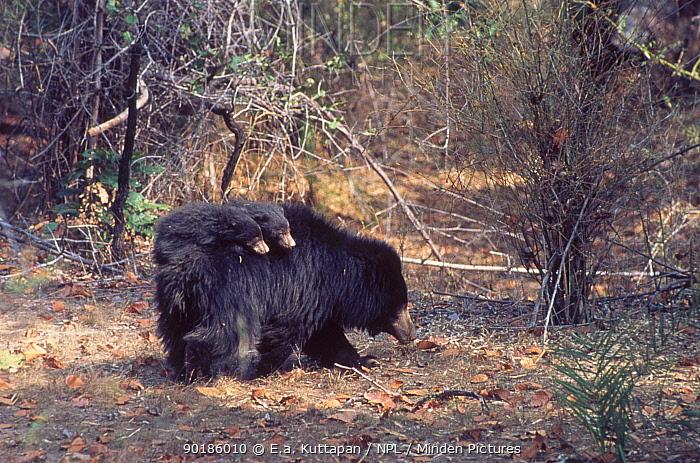 Sloth bear carrying young (Melursus ursinus) Bandhavgarh NP India  -  E.A. Kuttapan/ npl