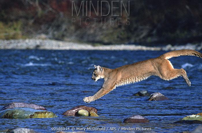 Puma, Cougar, Mountain lion jumping across river (Felis concolor) captive, USA  -  Mary Mcdonald/ npl