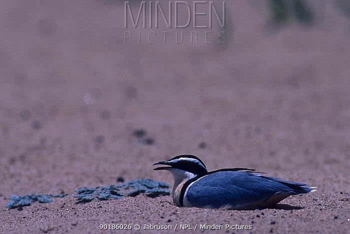 Egyptian rail, plover on nest in hot midday sun (Pluvianus aegyptius) Garamba NP DR Congo  -  Jabruson/ npl