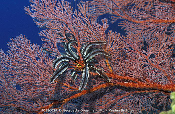 Featherstar (Crinoidea) on Seafan coral Sulawesi Indonesi  -  Georgette Douwma/ npl