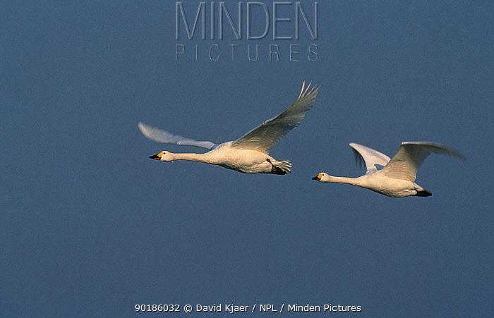 Two Bewicks swans in flight (Cygnus columbianus bewickii) UK  -  David Kjaer/ npl