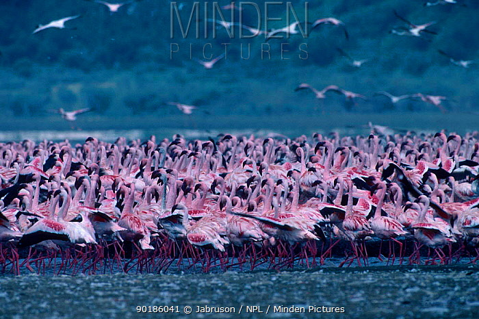 Lesser Flamingos flocking (Phoeniconaias minor) Lake Nakuru NP Kenya  -  Jabruson/ npl