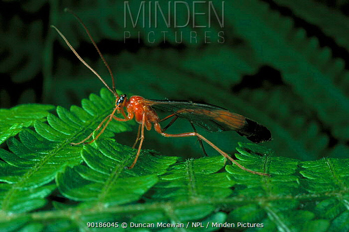 Ichneumonid wasp (Ophion luteus) UK  -  Duncan McEwan/ npl