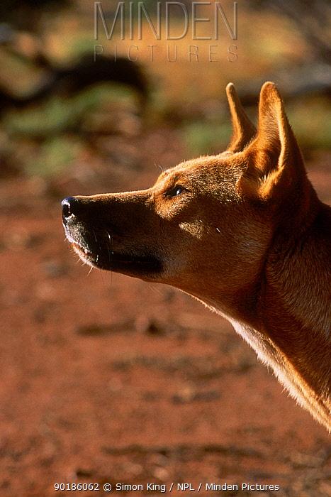 Dingo portrait (Canis dingo) Australia  -  Simon King/ npl