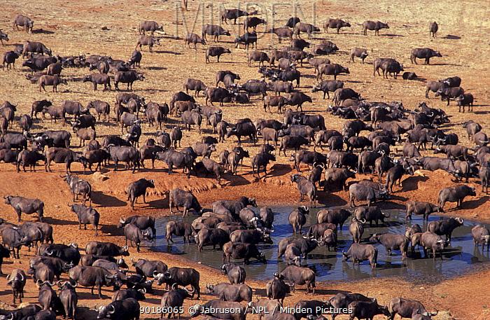 African buffalo herd at waterhole (Syncerus caffer) Keny  -  Jabruson/ npl