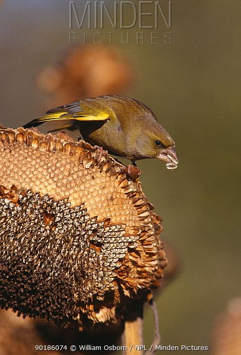 Greenfinch male feeding on sunflower seedhead (Carduelis chloris) Gloucestershire, UK  -  William Osborn/ npl
