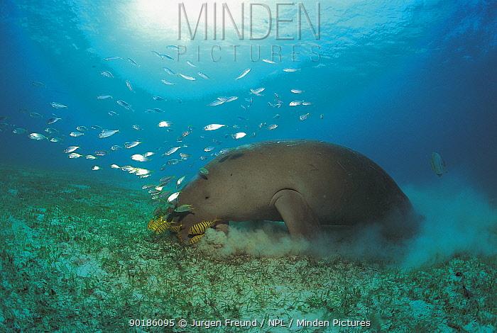 Dugong grazing on seagrass (Dugong dugong) Sulu-sulawesi seas, Indo-pacific  -  Jurgen Freund/ npl
