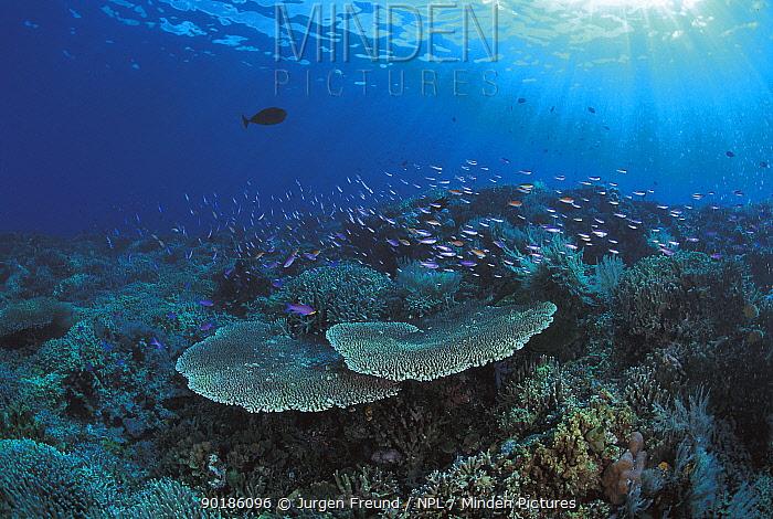 Coral reef with fish Sulu-sulawesi seas, Indo-pacific  -  Jurgen Freund/ npl