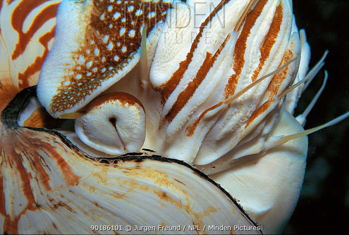 Close up of siphon of Pearly nautilus (Nautilus pompilius) Sulu-sulawesi seas Used to fill shell with water to sink and expell water to rise, lateral movement by jet propulsion  -  Jurgen Freund/ npl