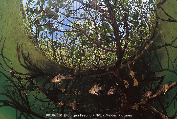 Shoal of Orbiculate cardinalfish (Sphaeramia orbicularis) amongst Mangrove roots Sulu-sulawesi seas, Indo-pacific Fish-eye image  -  Jurgen Freund/ npl